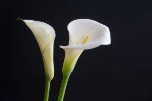 Calla Lily diy bouquet wedding flower floral