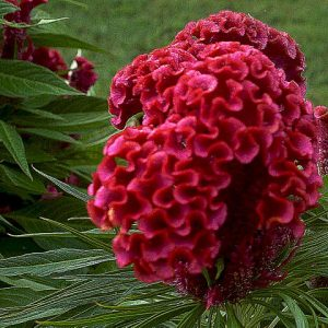 Coxcomb diy bouquet wedding flower floral