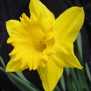 Daffodil diy bouquet wedding flower floral