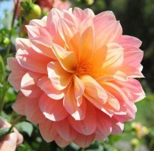 Dahlia diy bouquet wedding flower floral