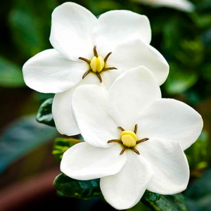 Gardenia diy bouquet wedding flower floral