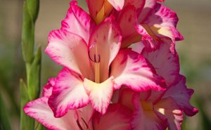 Gladiolus diy bouquet wedding flower floral