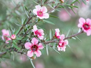 Leptospermum diy bouquet wedding flower floral