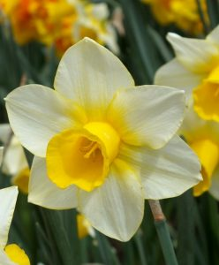 Narcissus Daffodil diy bouquet wedding flower floral