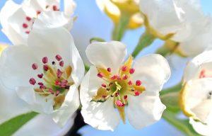 Pear Blossom diy bouquet wedding flower floral