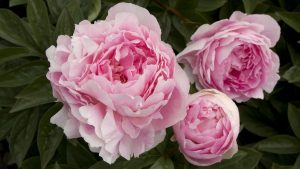 Peony diy bouquet wedding flowers floral