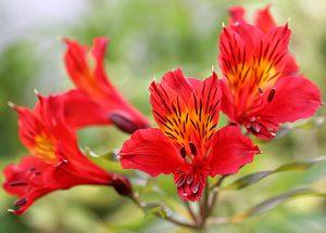 Peruvian Lily diy bouquet wedding flower floral