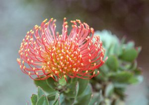 Protea Pin Cushion diy bouquet wedding flowers floral