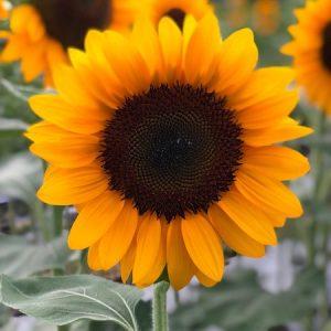 Sunflower diy bouquet wedding flower floral