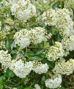 Viburnum diy bouquet wedding flower floral