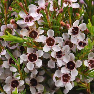Waxflower diy bouquet wedding flower floral